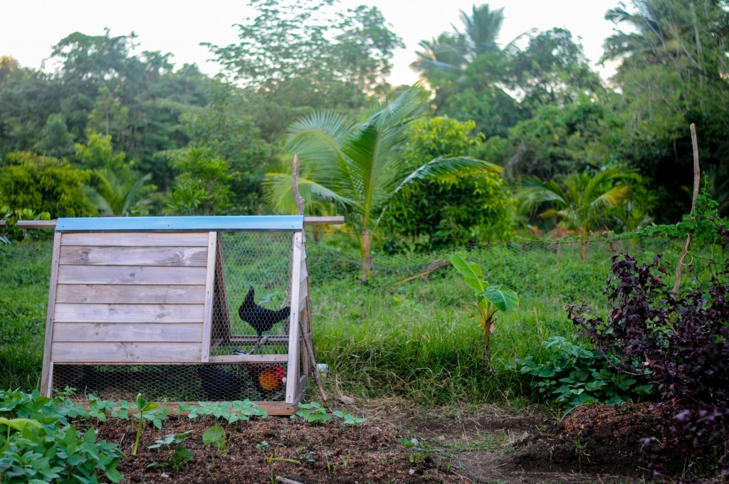 A chicken tractor in a tropical farm