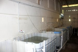 IBC tanks for the tilapia after they first hatch in the breeding room