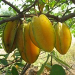 Carambola fruit in the dominican republic