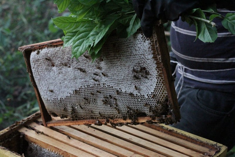 Charlie-Durrant-Permaculture-Bee-keepin-apiculture-dominican-republic-taino-farm-42381