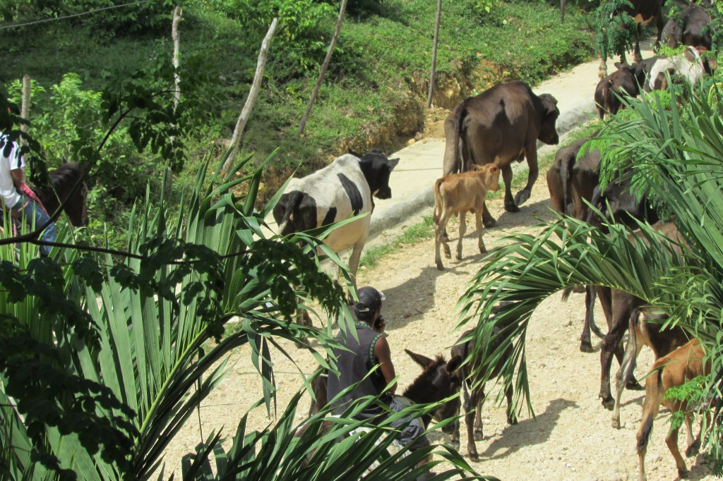 Cattle in Los Brazos, Dominican Republic