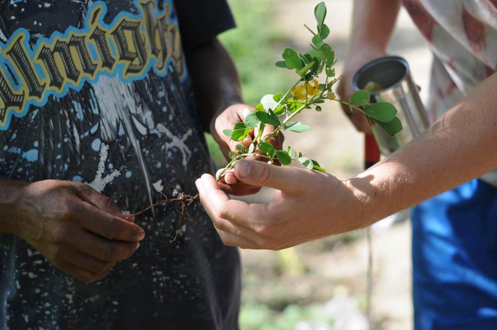 nitrogen fixing roots