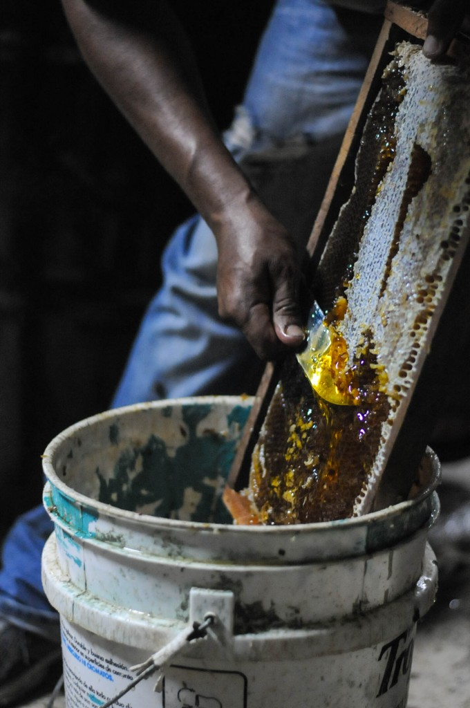 Victor preparing the honey comb to harvest raw honey.