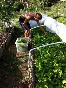 Me harvesting arugula