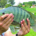 tilapia on aquaponics farm